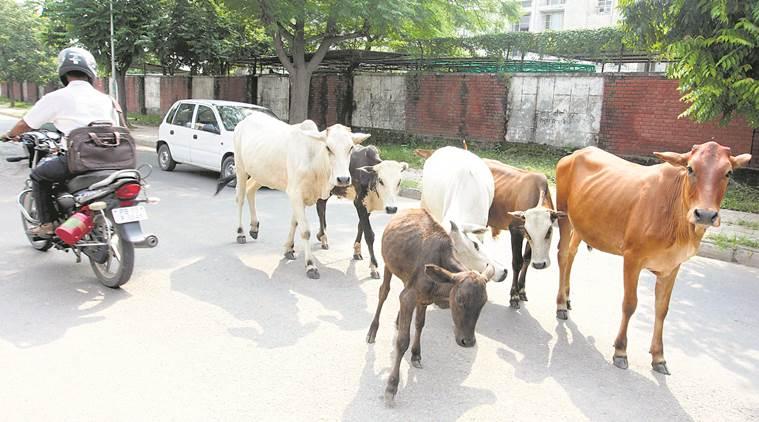 મુંબઈની જેમ અમદાવાદ પણ હવે કેટલ ફ્રી સિટી બનશેઃ તમામ ગાય-ભેંસને ચિપ લગાવાશે
