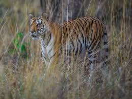 મહી સાગરના જંગલમાં વાઘ હોવાની વન વિભાગની પુષ્ટિઃ સિંહ વાઘ અને દીપડો ધરાવતું ગુજરાત પ્રથમ રાજ્ય