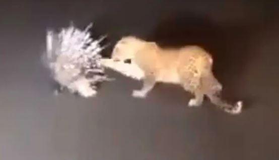 VIRAL VIDEO: ચિત્તાએ કર્યો શાહુડી પર હુમલો અને પછી થયું આવું…