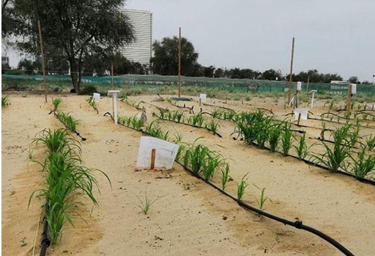 UAEએ વધુ એક સિદ્વિ હાંસલ કરી, લિક્વિડ નેનોક્લે પદ્વતિથી રણમાં ઉગાડ્યા ફળ-શાકભાજી