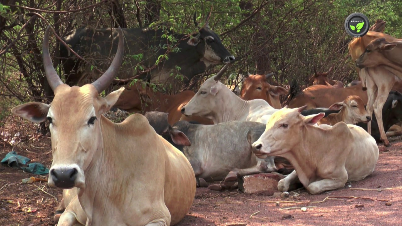 52 Kgs of Plastic Wastes, Nails, Removed from a Cow's Stomach