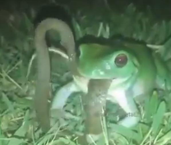 જુઓ VIRAL VIDEO: ઉલ્ટી ગંગા – દેડકાએ કર્યો સાપનો શિકાર