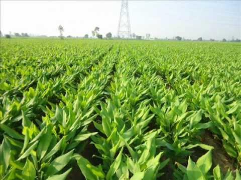 Kutch, farmers, turmeric