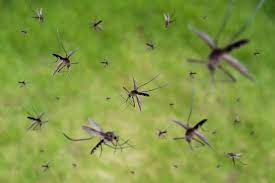 Infestation of mosquitoes-2