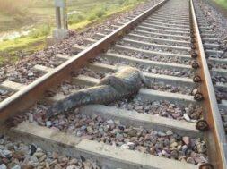 Crocodile on the railway track