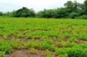 Epidemic in peanut crop