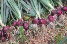 oniyan